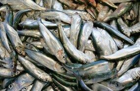 Квоты на ловлю кильки и салаки в Балтийском море в 2012 году урезаны