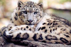 ÜRITUS: Loomaaed kutsub külla! 23. oktoobril tähistab Tallinna loomaaed lumeleopardipäeva