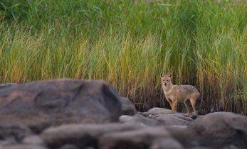 Новости природы: в Эстонию по берегам и рекам пришли шакалы с Украины