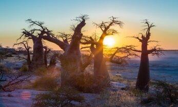 Okavango lõvid