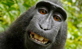 Kohus otsustas: ahvid ega muud loomad ei oma autoriõigusi