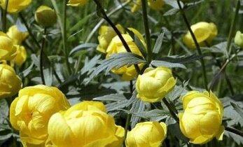 Mis lill on see nupune kullerkupp?