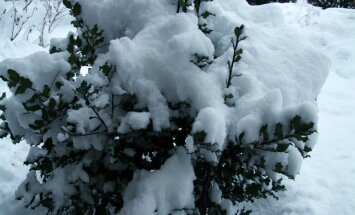 Et lumi oksi ei murraks, saputage see okstelt ettevaatlikult maha.