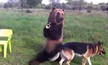ВИДЕО: Ручной медведь показывает трюки