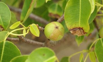 Õun-surmapuu: nimi ei valeta, seda puud ära parem näpi!
