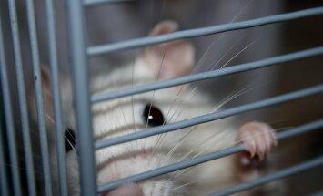 Põhjused, miks liivahiirtele ja rottidele ei tasuks jooksuratast soetada