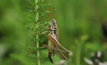 Värske maitse? Fazer alustas putukajahust kuklite müümist