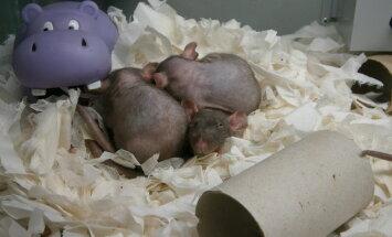 Kas kasukata rott on alasti?