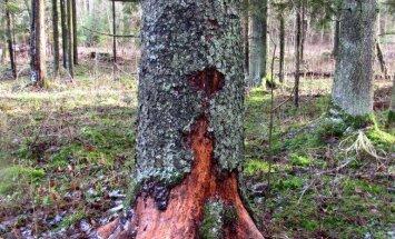 """<a href=""""http://blog.maaleht.ee/leilimetsalood/?p=8279"""" target=""""_blank"""">Leili metsalood: Mõned vanaisa aegadest pärit puud</a>"""