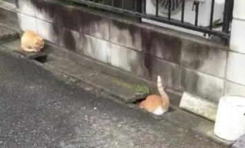 VIDEO: Kaks kavalat kassi püüavad tüli lahendada, kuid see, mis välja kukub on hoopis humoorikas tagaajamismäng