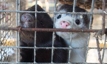 Loomakaitsjad avaldavad esmaspäeval riigikogu ees meelt karusloomafarmide keelustamise poolt