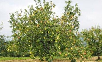 Väetamine lükkab viljapuudele hoo sisse