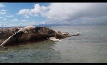FOTOD ja VIDEO: Indoneesia randa uhuti hiiglaslik, müstiline ja kõdunev korjus