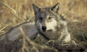 800px-Canis_lupus_laying_in_grass