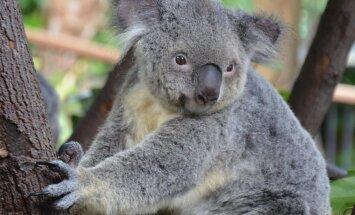 Kas sina teadsid, miks koaalad puid kallistavad?
