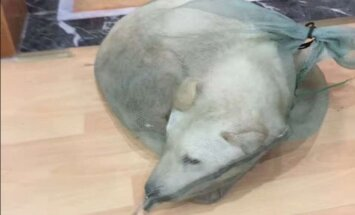 Šokeeriv lugu: mees päästis koera, keda Hiina tänaval elusast peast liha pähe müüdi