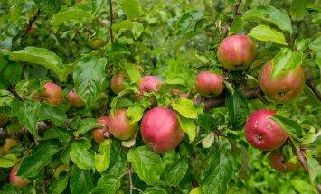 Polli õunaistandus