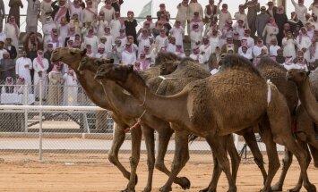 Саудовская Аравия: из-за ботокса верблюдам запретили участвовать в конкурсе красоты