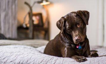 Mida teha, kui sa ei taha, et koer käiks diivanil või voodis? Kuidas teda ümber õpetada?