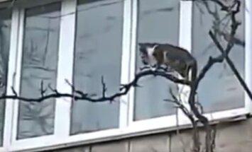 VIDEO: Turnib nagu ahvike! Hoolitsev kassiema viib läbi keerulise teekonna oma poja turvalisse paika