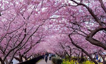 Редкое явление: Сакура в Японии расцвела уже в феврале