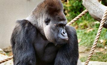 Gorillad mängivad kulli