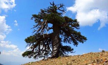 Euroopa vanim puu kasvab Kreekas ja on üle tuhande aasta vana