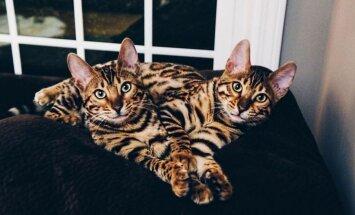 FOTOD: Milline on elu koos kahe väga erilise Bengali kassiga?