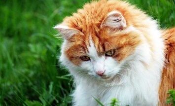 Kas osta kassile toamuru? 5 põhjust, miks kassid rohuliblesid näksivad