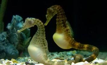 Soorollid merihobukeste hulgas: issi on jälle rase!