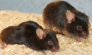 Bioloogidel õnnestus hiirte eluiga lausa 35 protsenti pikendada