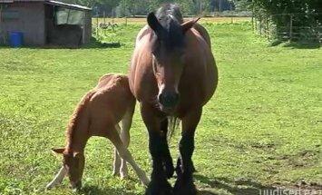 VIDEO: Raplamaal sündis siinmail haruldane raskevehobune