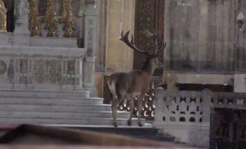 Hämmastav VIDEO: Prantsusmaal sattus hirv kirikusse