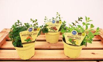 Hortes, Hansaplant, taimed, lilled, maitsetaimed, 18.02 2016