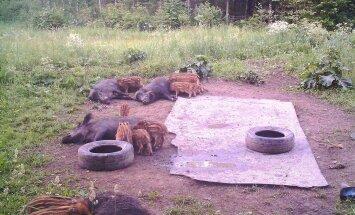 ARMAS FOTO: Metsseaemad poegi söötmas