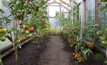 Puhtus ja kord kasvuhoones on olulised tegurid taimehaiguste vältimisel.
