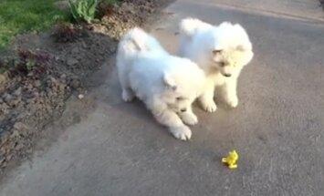 VIDEO: Jälgi mängu! Kaks kutsikat seisavad silmitsi üleskeeratava mänguasjaga