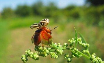 Kartulimardikad on head lendajad ning soodsate tuultega võivad kanduda väga kaugele.