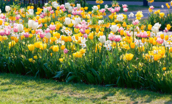 Aeg istutada lillesibulaid. Kuhu ja kuidas?