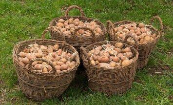 HÜVA NÕU: Kuidas kartulit edukalt kasvatada?