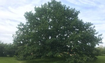 """Голосуем! Эстонский дуб около памятника """"Русалка"""" претендует на звание европейского дерева года"""