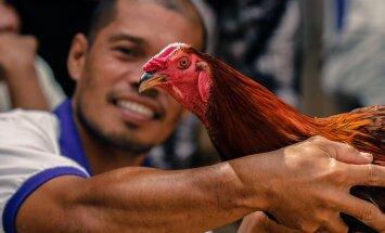 ФОТО читателя Delfi: Петушиные бои на Филиппинах, или Гладиаторы поневоле