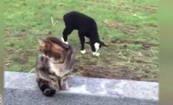 VIDEO: Amet varsti selge! Koertega semutsev lambatall õpib, kuidas olla tõeline karjakoer