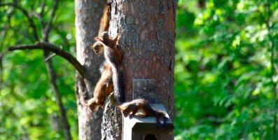 PILTUUDIS: Saue vallas rajas oravaema pesa lindude pesakasti