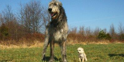 Tõelised hiiglased: 10 maailma kõige suuremat koeratõugu, kes naljalt korterisse ei mahu