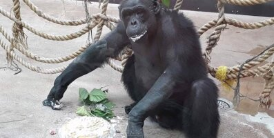Tallinna Loomaaia šimpans Pino sai 30-aastaseks