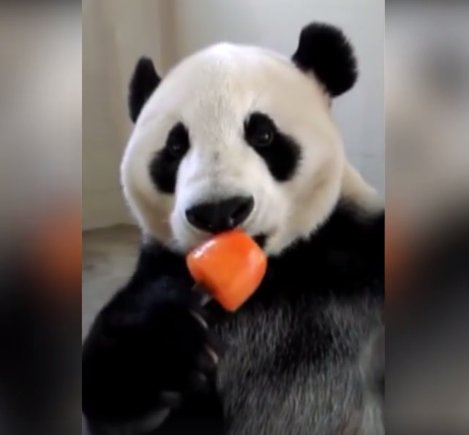 Kõikide loomasõprade lemmikvideo! Panda naudib eriti innukalt kuumal suvepäeval mahlapulga söömist