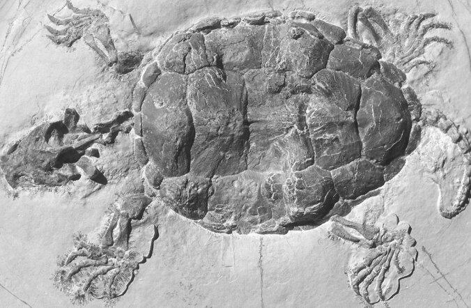 Kilpkonna kilp kujunes välja hoopis ründe- mitte kaitsevahendina