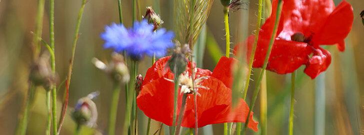 Imelised rukkililled ja moonid – need annavad põllule värvi