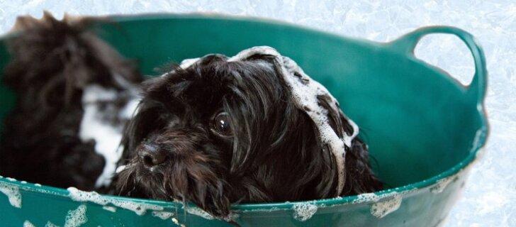 <em>Grooming</em> ja <em>deshedding</em>: miks on koera regulaarne karvahooldus oluline ja kuidas seda õigesti teha